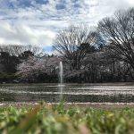 花見!満開!代々木公園(4/7) – Yoyogi Park Sakura
